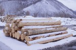 「SERVE」の家具になるために伐り出される北海道産イタヤカエデ
